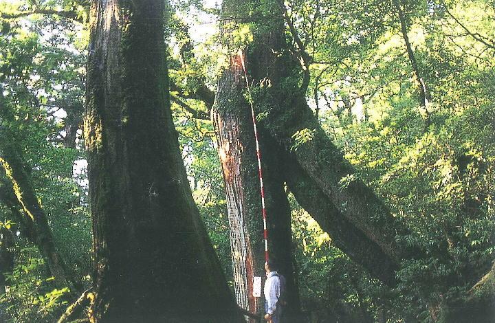 ヤクスギランドくぐり杉