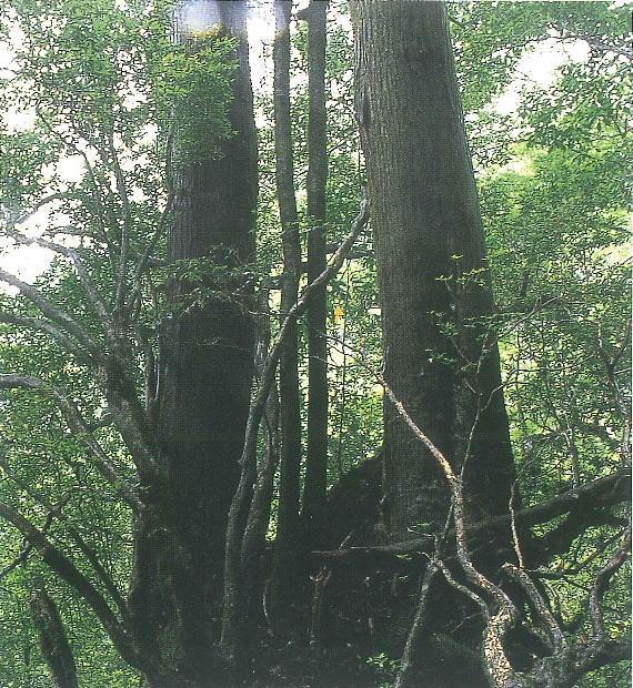 双子杉(1)